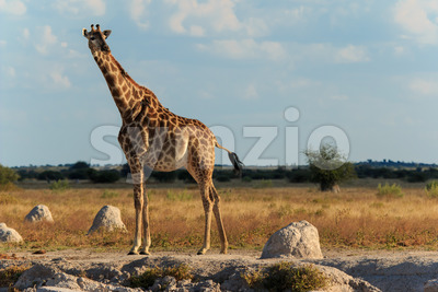 Giraffe at a water hole Stock Photo