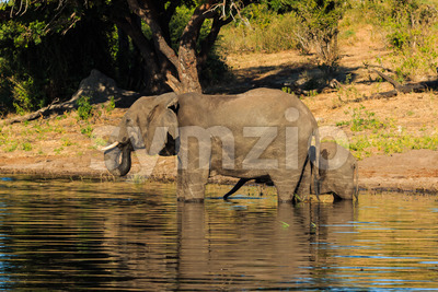 Mother and baby elephant drinking river Chobe Stock Photo