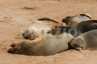 Cape fur seal group resting Stock Photo