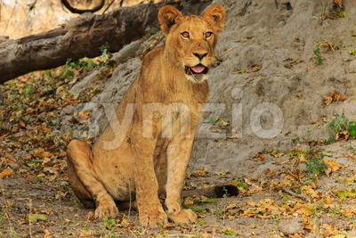Lion sitting and watching Stock Photo