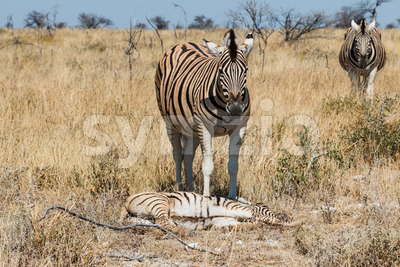 Two adult zebra and one baby resting Stock Photo