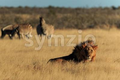 Lion resting Stock Photo