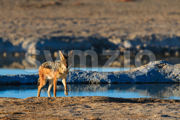 Black backed jackal leaving water hole Stock Photo