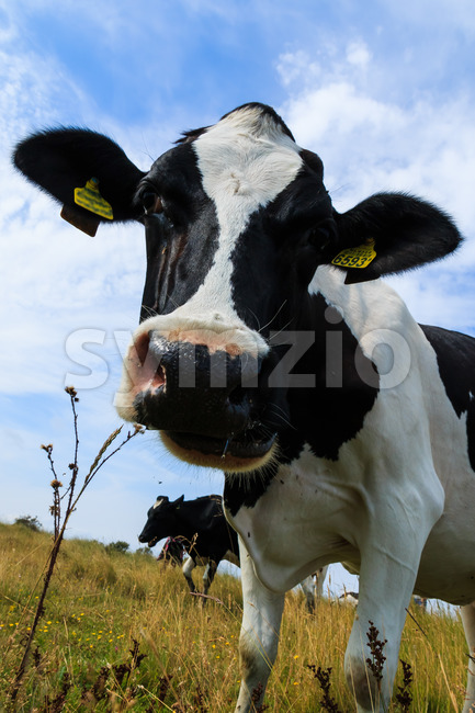 Curious Holstein Frisian cow close-up in field.