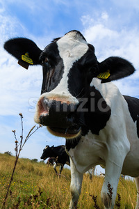 Curious dairy cow close up tilting head Stock Photo