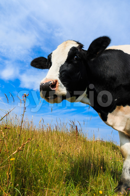 Curious Holstein Frisian cow standing in field.