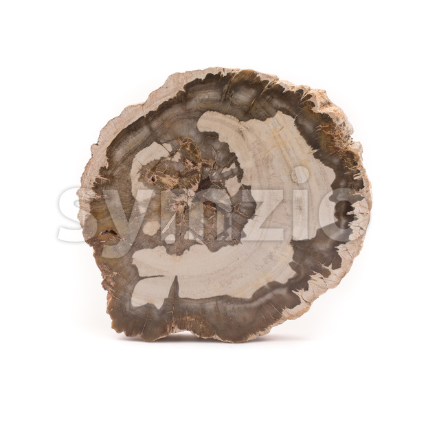 Front view of a slice of petrified wood found in Madagascar. Isolated on a white background.