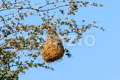 Nest weaver bird on branch Stock Photo
