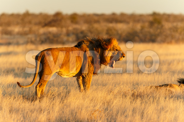 Lion male resting yawning after catch Stock Photo