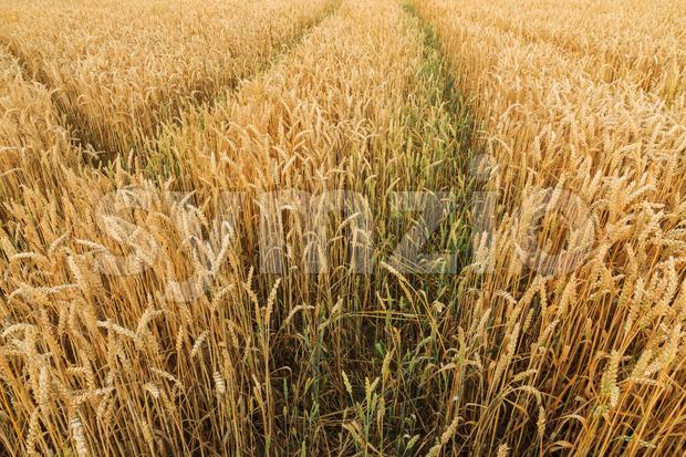 Multiple tracks grain field Stock Photo