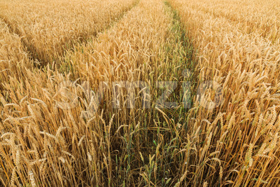 Multiple tracks grain field Stock Photo