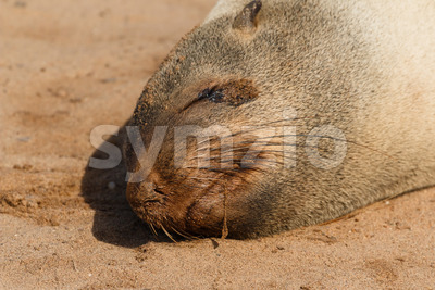 Cape fur seal sleeping close up Stock Photo