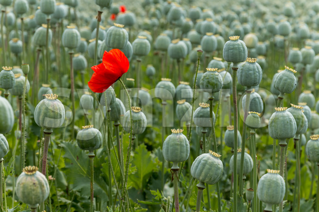 Papaver field single poppy flower Stock Photo