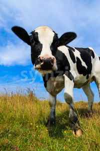 Lovely dairy cow standing in field Stock Photo