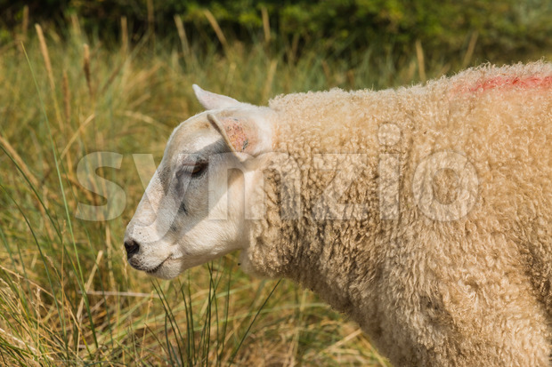 Sheep in grass in summer close-up Stock Photo