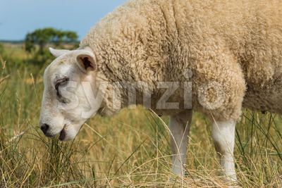 Sheep eating grass in summer close-up Stock Photo