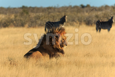 Lion resting, no need to catch zebra Stock Photo