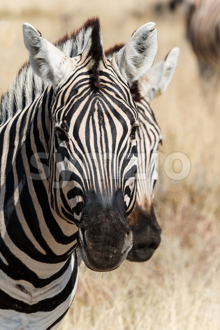 Two zebra heads Stock Photo
