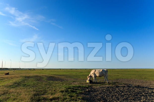 Scenic view cows near wadden sea noordpolderzijl Stock Photo
