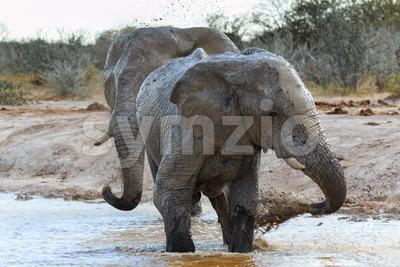 Elephants getting muddy Stock Photo