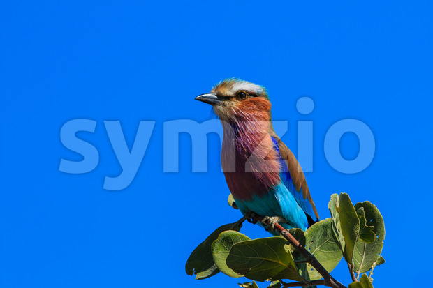 Lilac-breasted roller in tree on branch. National bird of Botswana and Kenya.