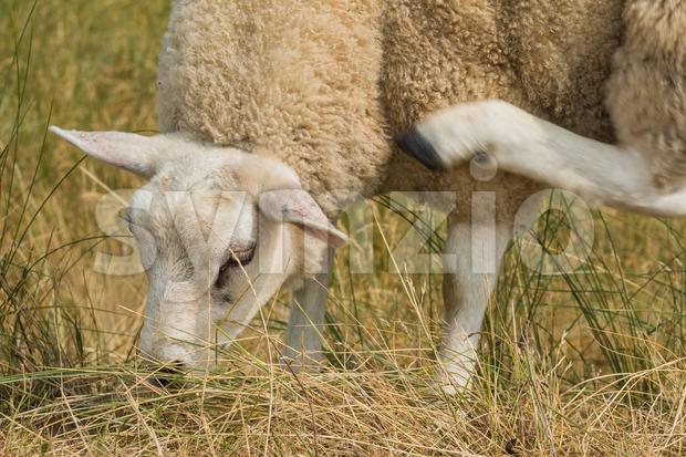 Sheep multi tasking eating scratching Stock Photo