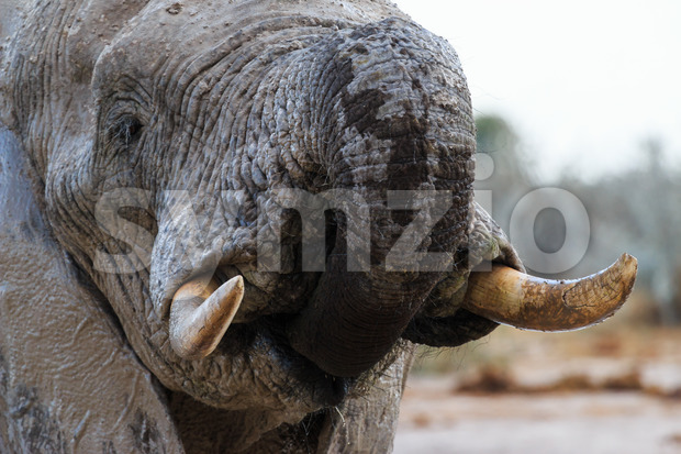 Elephant in Nxai Pan in Botswana takes some water with his trunk.
