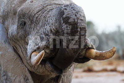 Elephant takes some water Stock Photo