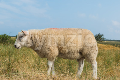 Sheep eating grass in summer Stock Photo