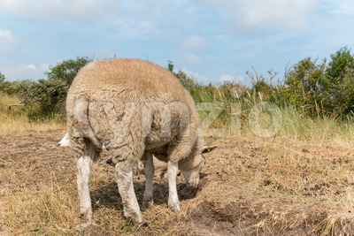 Sheep standing in summer close-up Stock Photo