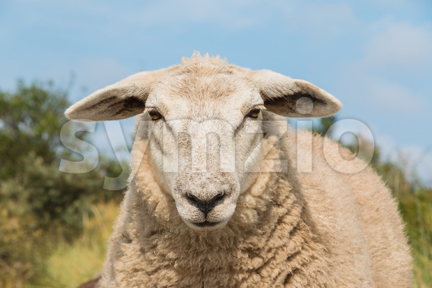 Sheep staring up close view head Stock Photo