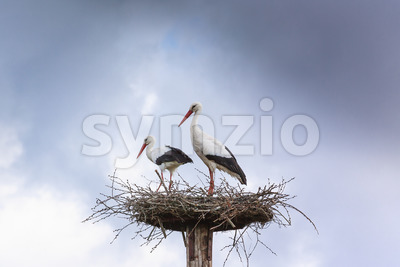 Pair white stork preparing nest Stock Photo