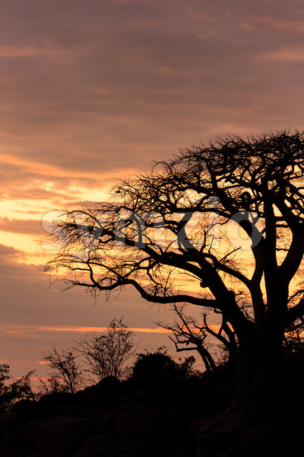 African baobab in a lovely evening sun Stock Photo