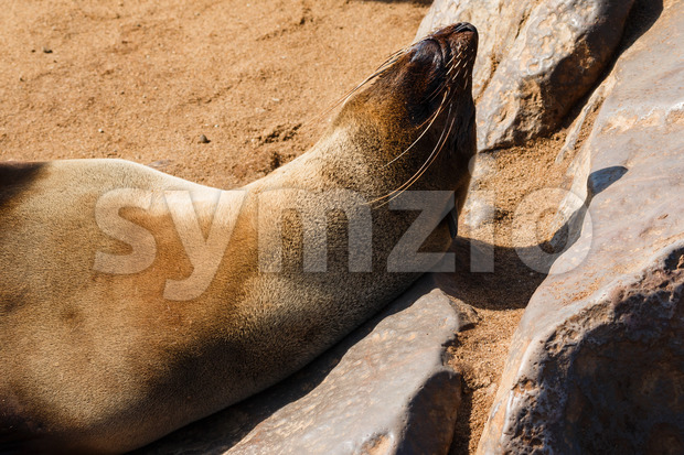 Cape fur seal warming up Stock Photo