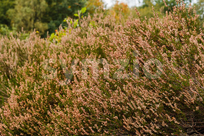 Heath in autumn sun after blooming Stock Photo