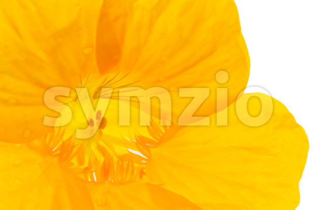 Close into a yellow flower on a white background in the studio. Vibrant color, beautiful sight.