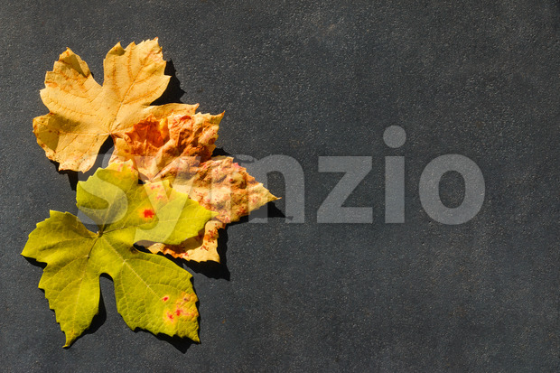 Colorful autumn leaves of grape on a gray stone. Framing a message area, has copy space.