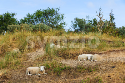 Sheep resting grass in summer Stock Photo