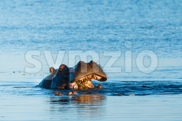 Hippo eating in river Chobe Botswana Africa Stock Photo
