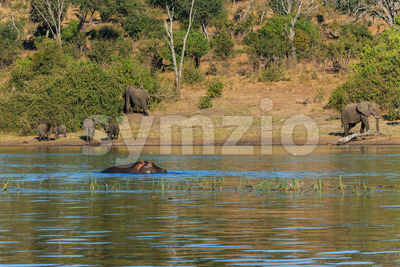 Group elephants walking and drinking river hippo Africa Stock Photo