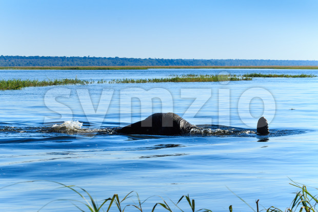 Elephant takeing dive with body under water river Chobe, Botswana, Africa. Special safari scene.
