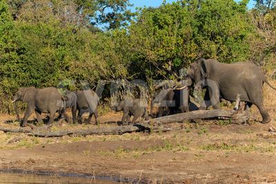 Group and baby elephant walking Chobe Botswana Africa Stock Photo