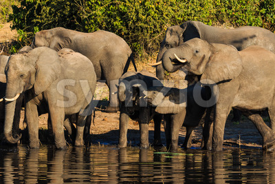 Group and baby elephant drinking Chobe Africa Stock Photo