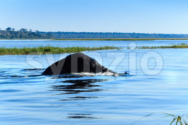 Elephant swimming Chobe river Botswana Africa Stock Photo