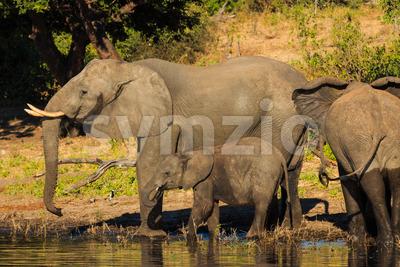 Mother and baby elephant drinking Chobe Botswana Stock Photo