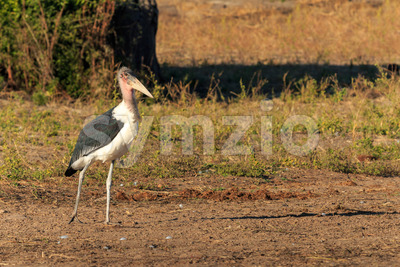Marabou stork walking riverside Africa Stock Photo