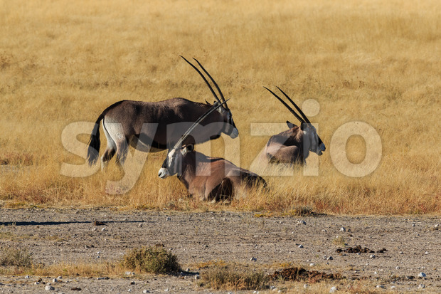 Group gemsbok or gemsbuck oryx standing field Stock Photo