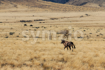 Gemsbok or gemsbuck oryx walking in field Stock Photo