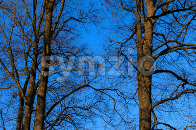 Trees without leafs autumn sky sundown Stock Photo