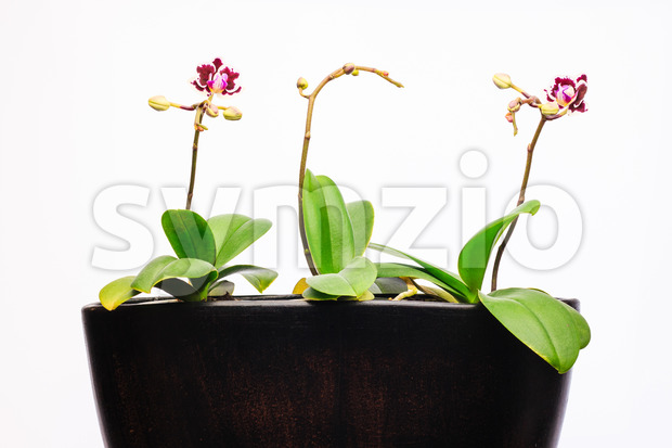 Three orchid plants in a pot. New purple flowers just blooming. Fragile elegant plant at home.